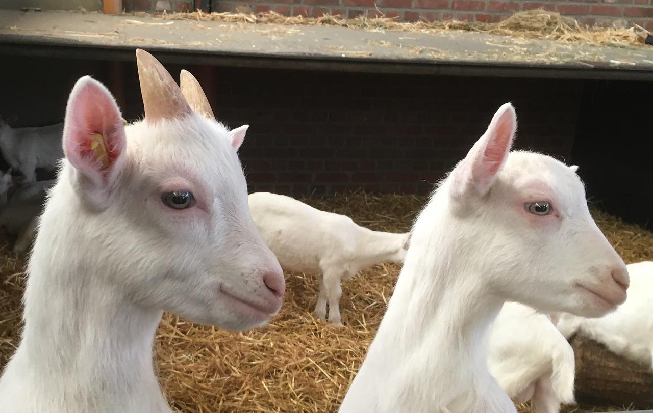 Курс хуманно отношение към животните - кози
