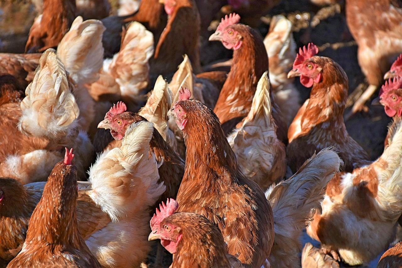 Курс хуманно отношение към животните - кокошки, птици