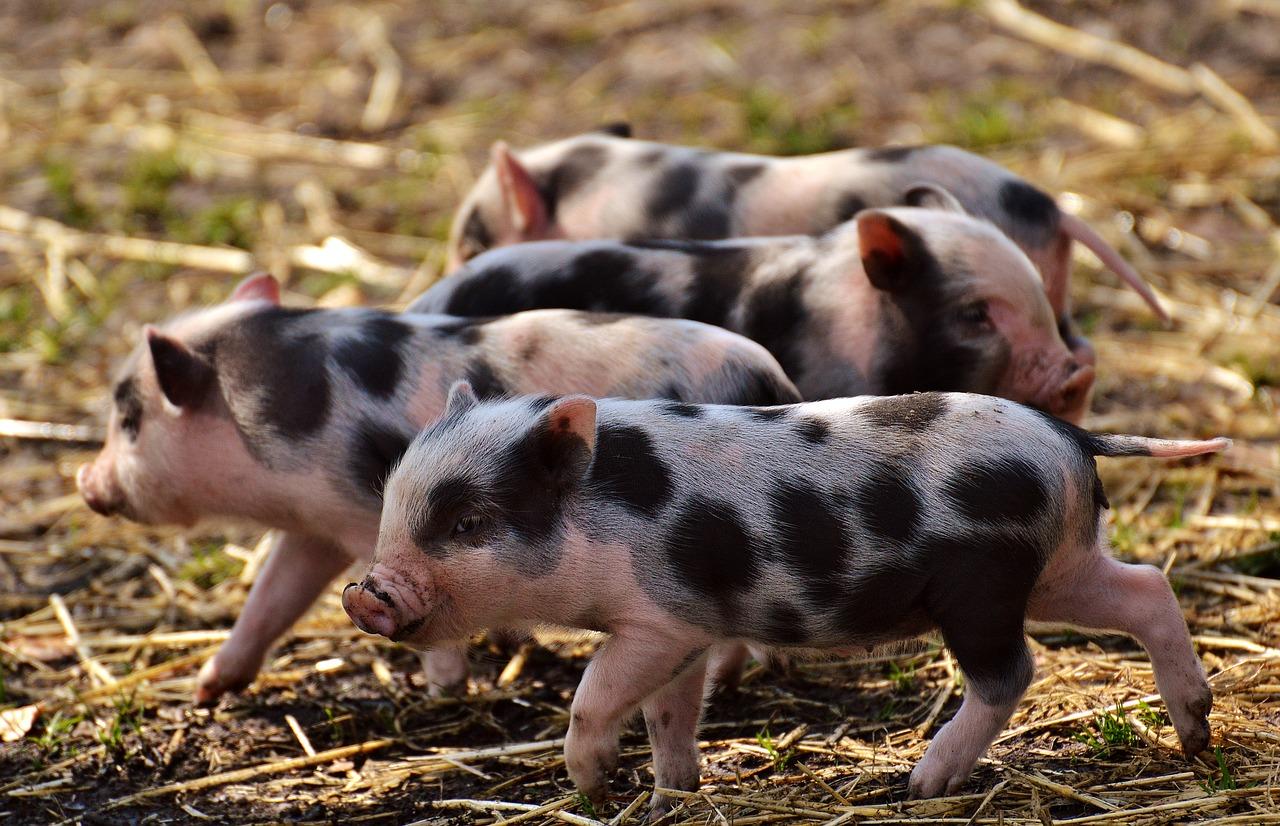Курс хуманно отношение към животните - свине, прасета